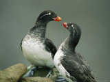 A Pair of Parakeet Auklets in Breeding Plumage