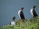 A Trio of Parakeet Auklets in Breeding Plumage