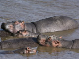 A Group of Hippos Cool off in Water