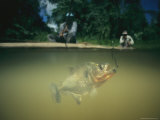 A Piranha (Serrasalmus Nattereri) Swims Toward the Fishermens Bait Near the Waters Surface
