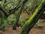 A Forest of Ancient  Moss-Covered Live Oak Trees