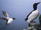 A Thick-Billed Murre Perches on a Cliff While Another Takes Flight