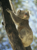 A Koala Bear Clinging to a Tree Trunk