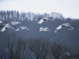 A Flock of Japanese or Red-Crowned Cranes in Flight