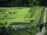 Hikers Pass a Field of Cattle in the Scottish Countryside