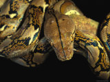 A Reticulated Python Wound Around a Tree Branch
