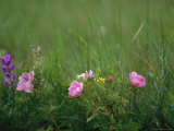 Wild Prairie Roses Bloom Among Grasses