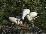 White Storks (Ciconia Ciconia)