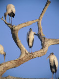 A Group of Endangered Wood Storks Perch in a Dead Tree