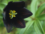 Beautiful Black Wildflower Blossom