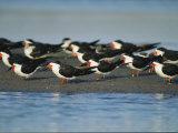 A Group of Black Skimmers Stand on a Sandbar