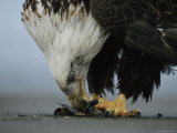An American Bald Eagle Feeds off of a Fish Carcass