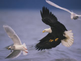 An American Bald Eagle Pursues a Gull with a Fish in its Beak