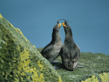 A Pair of Crested Auklets in Their Breeding Plumage