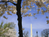 Cherry Trees Blooming in Spring Near the Washington Monument
