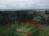 Poppies Growing by a Lichen-Covered Seawall  Denmark