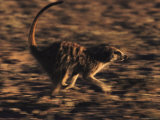 A Meerkat Runs with its Tail Held High and Eyes Sharp