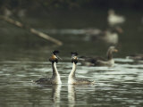 A Pair of Great Crested Grebes  Podiceps Cristatus