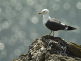 A Lesser Black Backed Gull Perches on a Rock