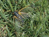 Close View of an Adult Brood X  17-Year Cicada in Grass