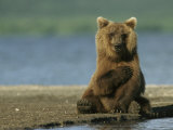 A Brown Bear Sitting on a Shore