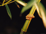 A Spring Peeper Frog Perches on a Bamboo Stalk