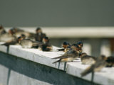 A Group of Swallows Sitting on a Railing