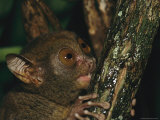 Wide-Eyed Tarsier Clinging to a Branch at Night