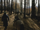 Mongolian Woman Leads her Herd Through the Forest