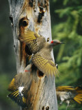 Trio of Northern Flickers Around a Nesting Hole in an Old Snag