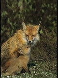 A Red Fox Mother and Her Pup