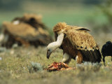 Griffon Vultures Eating as a Crow Watches Nearby