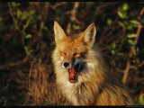 A Red Fox Yawning in Golden Sunlight