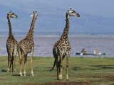 Trio of Giraffes near the Edge of Lake Manyara