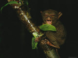 Sleepy Looking Tarsier Clinging to a Branch at Night