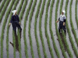 Two Women Laugh Together While They Are Standing in a Rice Paddy  Yoshida  Honshu Island  Japan