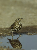 Song Thrush Drinking from a Puddle