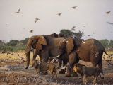 Doves  Lions and Elephants Compete for a Water Hole in the Dry Season