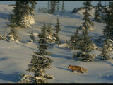 A Red Fox Walking Among Evergreen Trees in a Snowy Landscape