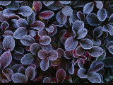 Frosted Leaves of a Low-Growing Arctic Plant
