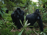 Two Mother Gorillas Carrying Their Children on Their Backs  Virunga National Park  Rwanda