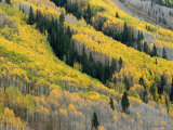 Autumn Colored Aspen Trees Intermingled with Evergreens