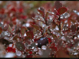 Droplets of Water on the Red Leaves of an Arctic Plant