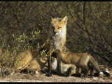 A Red Fox Mother Nurses Her Litter of Pups