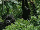 Silverback Gorilla and a Playful Youngster in the Dense Jungle  Virunga Mountains  Rwanda