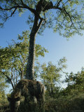 Leopard in a Tree Watches a Hyena