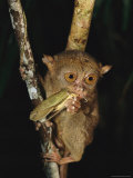 Tarsier Eats an Insect While Clinging to a Branch at Night