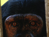 Chimp at Chimpfunshi Wildlife Orphanage in Zambia