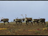 A Group of Caribou in a Tundra Landscape