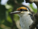 Close View of the Head of a Micronesian Kingfisher
